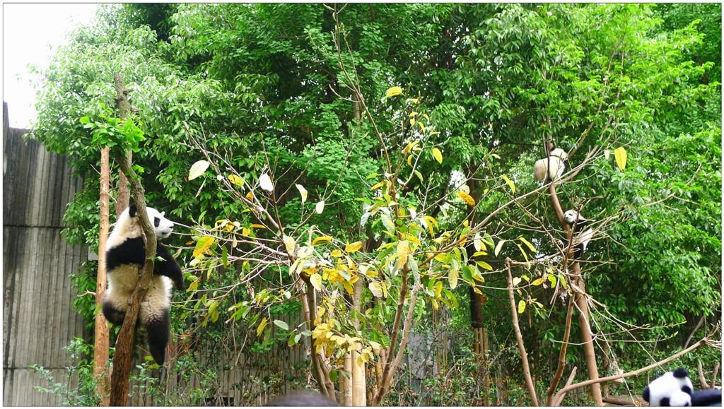 大熊貓,喜歡樹上睡覺