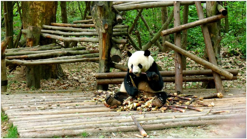親歷可愛大熊貓